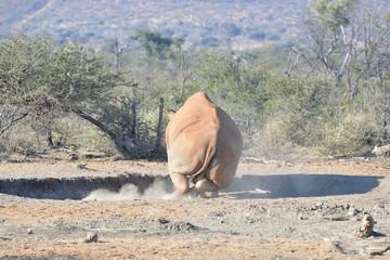 Breitmaul oder auch weisses Nashorn