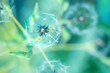 White fluffy dandelion on the blurred background