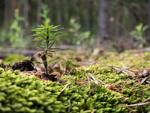 Conifer seedling growing in the wood