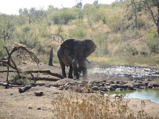 Elefant, Elefantenbulle