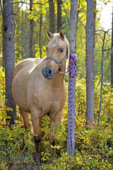 Palomino Mare in a Grove of Aspen trees, tied up to tree, waiting to work.
