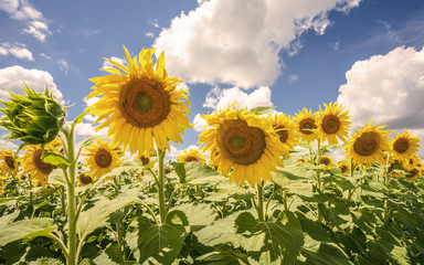 Sunflowers blue sky and White Clouds  Nature Sommer Season