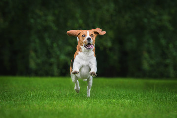 Happy beagle dog playing in summer