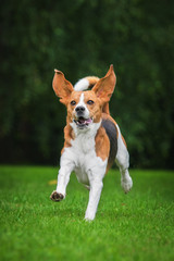 Funny beagle dog running in the park