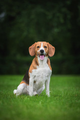 Beagle dog sitting on the lawn