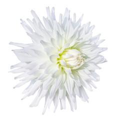summer time white dahlia flower