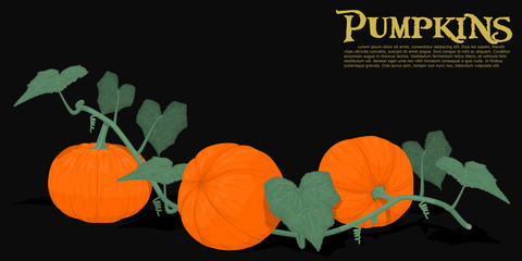 Composition of pumpkin on vine on black background