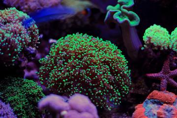 Euphyllia lps coral scene
