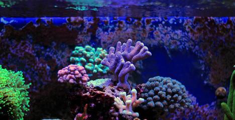 Stylophora Coral (Stylophora sp.)