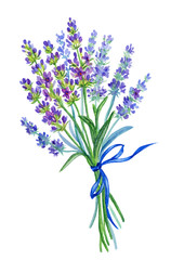 A bunch of lavender, watercolor drawing on a white background with clipping path.