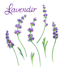 Sprigs of lavender with leaves on a white background. Flower watercolor drawing. Isolated on white background with clipping path.