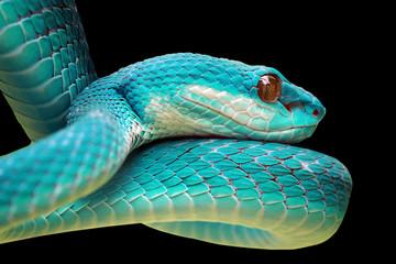 Snakes, blue viper