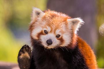 Fotobehang Panda Panda roux