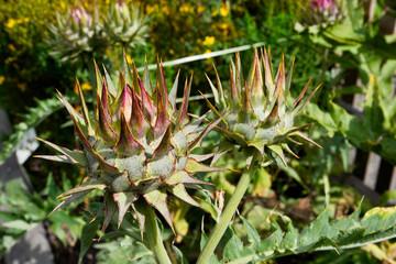Artischocke (Cynara scolymus)