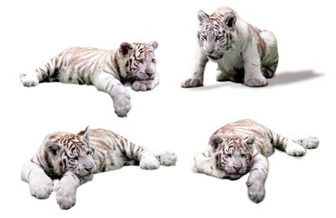 Group of Tigre Baby, blanc royal (Panthera tigris) young animals, isolated