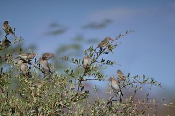 African quail finch