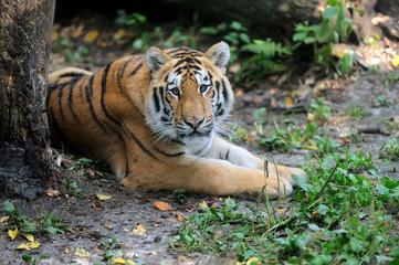 Fototapete - Siberian tiger in summer day