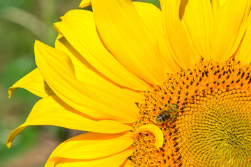 The bee sits on a sunflower