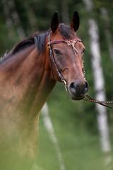 Pferdeportrait mit keltischem Knotenstirnband