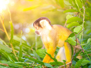 Squirrel monkey with yellow fur hidden in the green bush of Amazonia, South America.