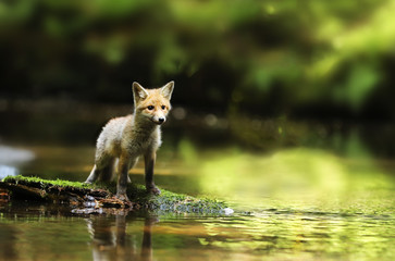 Young red fox stay in river being watchfull - Vulpes vulpes