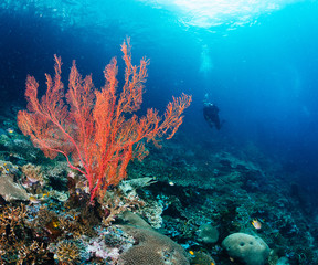Wall Mural - Red soft coral and diver in background