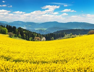 Field of rapeseed, canola or colza