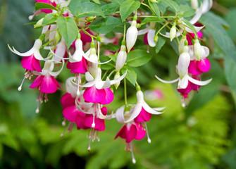 Fuchsie mit pinkfarbenen Blüten