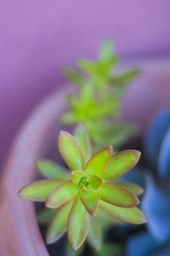 Succulent green plants on violet background, strong color contrast, selective focus.