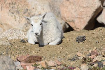 Baby Mountain Goat - Mountain Goats in the Colorado Rocky Mountains