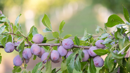 Plums on Tree Vine Fruit Orchard Whole Organic Food