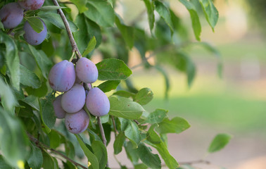 Plums on Tree Vine Fruit Orchard