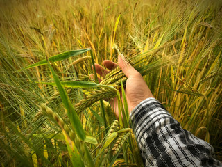 Farmers hand holding bunch of wheat. Right hand with black and white colored clothing.