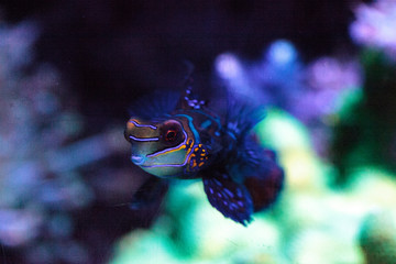 Mandarin goby is also called the Mandarin dragnet Synchiropus splandidus