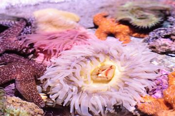 Pink anemone Anthopleura elegantissima tentacles