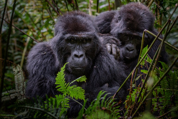 Portrait of a mountain gorilla with cub at a short distance. gorilla close up portrait.The mountain gorilla (Gorilla beringei beringei)