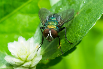 Closeup of House fly.