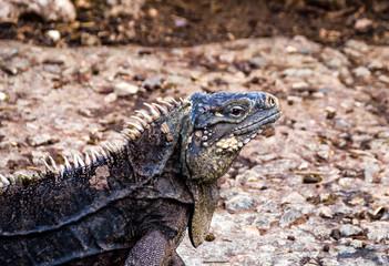 Iguana Common