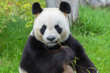 Autocollant pour porte Panda Giant panda, bear panda sitting on the grass eating bamboo