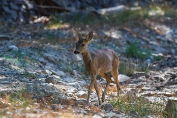 Hembra de Corzo caminando por un claro del bosque. Capreolus capreolus.