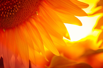 Wall Mural - sunflower flower at the sunset