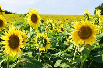 真夏のヒマワリ畑