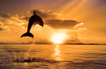 beautiful dolphin leaping jumping from shining sunset sea water surface