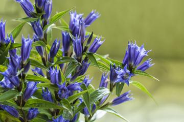 Campanula - Blue bell flowers.