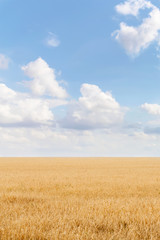 Wall Murals Night blue Summer landscape with grain field and blue sky with clouds. Ukraine