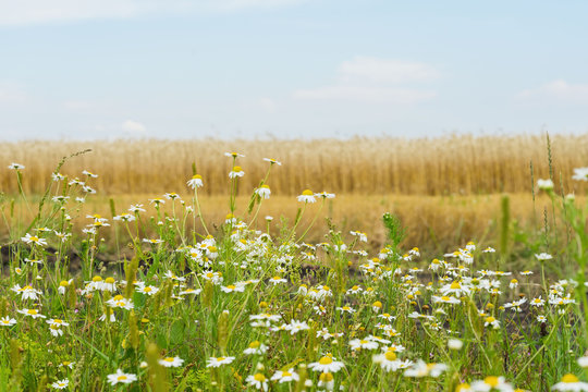 Pleasantly aromatic hardy weeds annuals Matricaria, Chamomile , mayweed, growing along roadsides of rye field. Flowering plants of summer