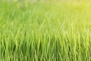 closeup rice fields, young growing rice background, farm and agriculture concept