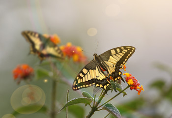 Butterflies at Sunrise on flowers