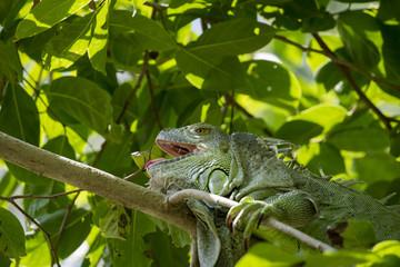 Image of iguana on the tree. Reptile Animals.