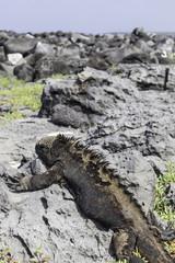 Marine Iguana lying on rock, Galapagos